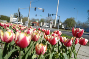 Troost Tulips